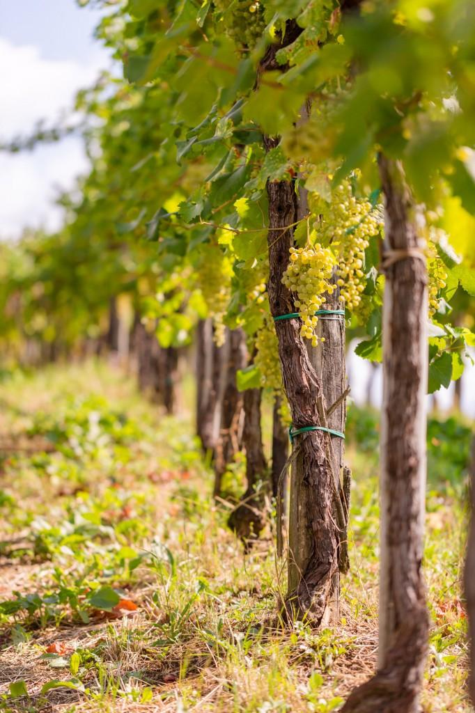 Cartizze vineyard - Photo ©Mattia Mionetto